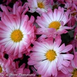 Pink & White Mums