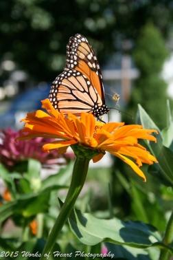 Monarch Butterfly & Bee