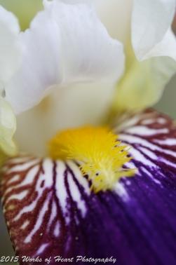 Dark Purple Iris Closeup