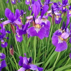 Bunch of Irises