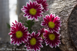 Mums on the Woodpile