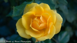 Yellow Rose of Italy