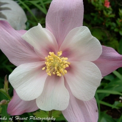 Light Pink Columbine